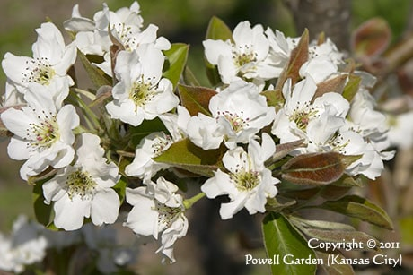 photo asian pear 20th century flowers