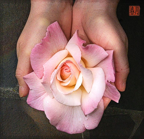 woman's hands holding pristine hybrid tea rose