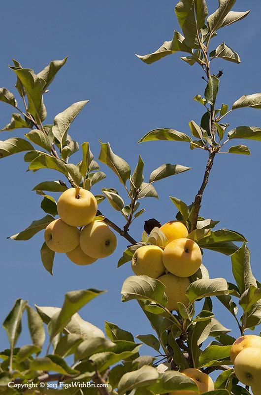 golden apples against a blue sky