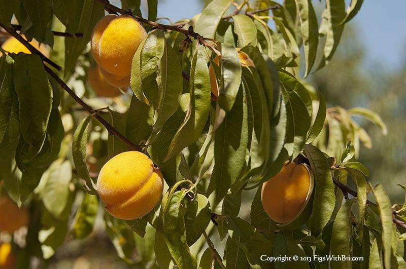 apricot nectarine hybrid fruit at sonoma garden park