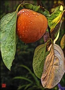 fruit art print ripe hachiya persimmon